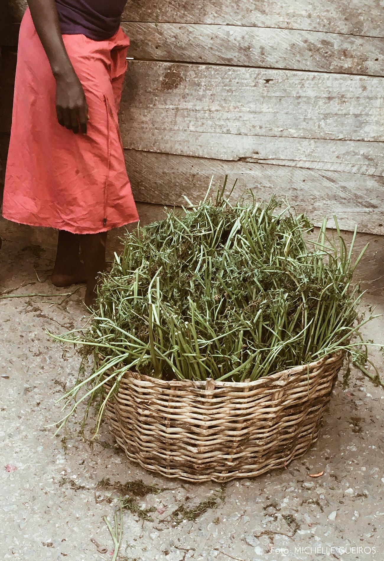 Gana viagem plantas em cesto